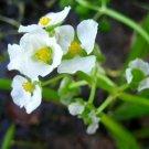 USA Product500 White Broadleaf ARROWHEAD Sagittaria Latifolia POND WETLAND Flower Seeds