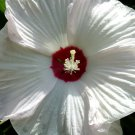 USA Product25 LUNA WHITE HARDY HIBISCUS Moscheutos Flower Small Bush Seeds +Gift & Comb S/H