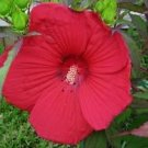 USA Product10 LUNA RED HARDY HIBISCUS Moscheutos Flower Small Bush Seeds + Gift & Comb S/H