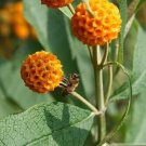 USA Product10 ORANGE BALL TREE / GOLDEN BUTTERFLY BUSH Buddleja Globosa Shrub Flower Seeds