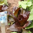 USA Product3000 RED ROMAINE LETTUCE Lactuca Sativa Vegetable Seeds *Comb S/H + Free Gift