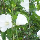 USA Product50 WHITE ROSE OF SHARON HIBISCUS Syriacus Flower Tree Bush Seeds *Comb S/H &Gift