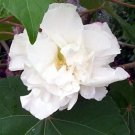 USA Product50 WHITE DOUBLE ROSE OF SHARON HIBISCUS Syriacus Flower Tree Bush Seeds *CombS/H