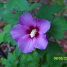 USA Product50 PURPLE ROSE OF SHARON HIBISCUS Syriacus Flower Tree Bush Seeds *Comb S/H
