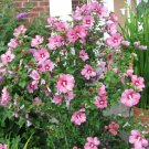 USA Product50 DARK PINK ROSE OF SHARON HIBISCUS Syriacus Flower Tree Bush Seeds *Comb S/H