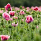 USA Product1000 PINK & WHITE POPPY Flower Seeds *Comb S/H + Free Gift