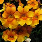 USA Product50 ORANGE PRINCE NEMESIA Strumosa Flower Seeds *Comb S/H + Free Gift