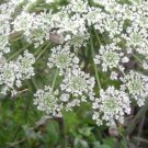USA Product200 BISHOPS FLOWER Ammi Majus False Queen Annes Lace Seeds *Comb S/H