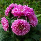 USA Product30 DUCHESS PINK PAEONY ASTER French Peony Callistephus Flower Seeds *Comb S/H