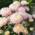 USA Product30 DUCHESS APRICOT PAEONY ASTER French Peony Callistephus Flower Seeds *Comb S/H
