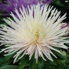 USA Product30 WHITE NEEDLE ASTER Callistephus Unicom Flower Seeds *Comb S/H + Free Gift