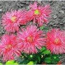 USA Product30 SALMON NEEDLE ASTER Callistephus Unicom Flower Seeds *Comb S/H + Free Gift