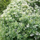 USA Product20 MOCK ORANGE Sweet English Dogwood Philadelphus Coronarius Shrub Flower Seeds