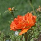 USA Product100 ORANGE PORTULACA Moss Rose Portulaca Grandiflora Flower Seeds *Comb S/H
