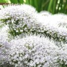 USA Product25 WHITE THROATWORT Trachelium Caeruleum Flower Seeds + Gift & Comb S/H
