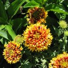 USA Product30 SUNDANCE BICOLOR GAILLARDIA Pulchella Indian Blanket Flower Seeds *Comb S/H