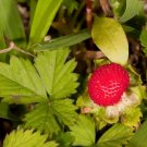 USA Product50 MOCK STRAWBERRY Potentilla Indica Duchesnea Fruit Berry Seeds *Comb S/H