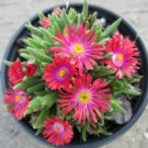 USA Product100 Gelato Bright RED ICE PLANT MESEMBRYANTHEMUM DAISY Livingstone Flower Seeds