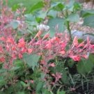 USA Product30 RED AGASTACHE 'HEATHER QUEEN' Hummingbrid Mint Hyssop Flower Herb Seeds