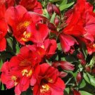 USA Product20 PERUVIAN LILY MIX Alstroemeria Dr Salters Flower Seeds *Comb S/H