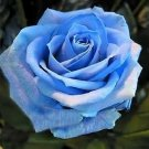 USA Product5 BLUE ROSE Rosa Bush Shrub Perennial Flower Seeds + Gift & Comb S/H