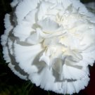 USA Product50 WHITE CARNATION Caryophyllus Grenadin Flower Seeds + Gift & Comb S/H
