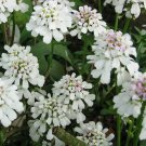 USA Product1000 WHITE EMPRESS CANDYTUFT Iberis Amara Flower Seeds + Gift & Comb S/H