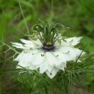 USA Product500 WHITE LOVE IN A MIST Nigella Damascena Flower Seeds + Gift & Comb S/H