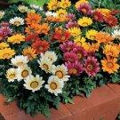 USA Product30 Kontiki STARS & STRIPES GAZANIA MIX Treasure Flower Seeds + Gift & Comb S/H