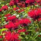 USA Product10 Panorama RED BEE BALM / MONARDA DIDYMA Oswego Tea Flower Seeds +Gift & CombSH