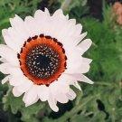 USA Product50 WHITE ZULU PRINCE CAPE DAISY Venidium Flower Seeds + Gift & Comb S/H