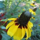 USA Product3000 CLASPING CONEFLOWER Rudbeckia Amplexicaulis Flower Seeds + Gift & Comb S/H