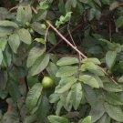 USA Product20 GUAVA Psidium Guajava Fruit Tree Shrub Evergreen Seeds + Gift & Comb S/H