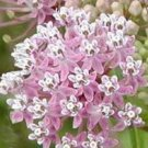 USA Product100 PINK COMMON MILKWEED Asclepias Syriaca MONARCHS! Flower Seeds +Gift & CombSH