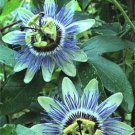 USA Product10 BLUE CROWN PASSION FLOWER VINE Passiflora Caerulea Seeds + Gift & Comb S/H
