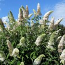 USA Product50 WHITE BUTTERFLY BUSH Buddleia Davidii Flower Seeds + Gift & Comb S/H