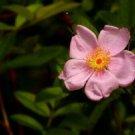 USA Product25 PINK SWAMP ROSE Rosa Palustris Flower Shrub Bush Seeds + Gift & Comb S/H