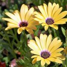 USA Product1000 MIXED AFRICAN DAISY DAISIES Dimorphotheca aka Cape Marigold Flower Seeds