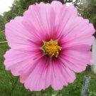 USA Product300 GLORIA COSMOS Bipinnatus Pink Flower Seeds + Gift & Comb S/H