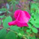 USA Product15 PRAIRIE ROSE Bright Pink Arkansas Rosa Arkansana Flower Seeds +Gift & CombS/H