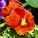 USA Product50 RED & YELLOW PANSY VIOLA Violet Flower Seeds + Gift & Comb S/H