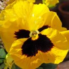 USA Product50 YELLOW & BROWN PANSY VIOLA Violet Flower Seeds + Gift & Comb S/H
