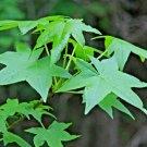 USA Product50 AMERICAN SWEETGUM Liquidambar Styraciflua Alligator Sweet Gum Tree Seeds