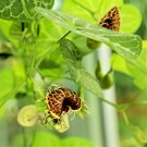 USA Product10 White Veined DUTCHMAN'S PIPE Aristolochia Fimbriata Pipevine Flower Herb Seed
