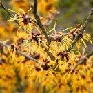 USA Product25 American WITCH HAZEL Hamamelis Virginiana Alder Shrub Tree Yellow Flower Seed