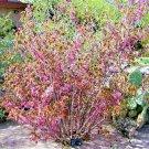 USA Product5 MEXICAN BUCKEYE Ungnadia Speciosa Shrub Tree Pink Purple Fragrant Flower Seeds