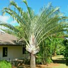 USA Product10 TRIANGLE PALM TREE Dypsis Decaryi Rare Tropical from Madagascar Seeds + Gift