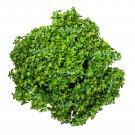 USA Product500 DWARF GREEK BASIL Ocimum Basilicum Fragrant Spicy Small Leaf Herb Seeds