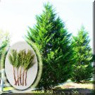 Tree Cutting Leyland Cypress Tree 10 Cutting From USA