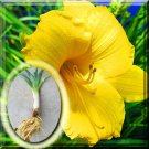 """1~20 """"Fresh Dug"""" Daylily Day lily Stella de Oro plant Root Fans 5 Roots From USA"""